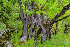 Trees in green forest, big tree. Beautiful green forest, Dense mountain wood Stock Images