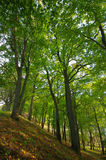 Trees in a green forest Royalty Free Stock Image