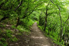 Trees in green forest, footpath. Beautiful green forest, Dense mountain wood Stock Image