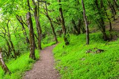 Trees in green forest, footpath Stock Photos