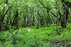 Trees in green forest, landscape. Beautiful green forest, Dense mountain wood Royalty Free Stock Photo