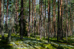 Trees in green forest with moss and autumn colors Stock Photo