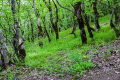 Trees in green forest, old trees Royalty Free Stock Photo