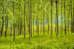 Trees in green forest Royalty Free Stock Photo