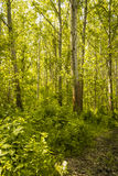Trees in green forest Royalty Free Stock Image