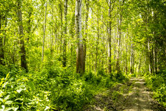 Trees in green forest Royalty Free Stock Photos