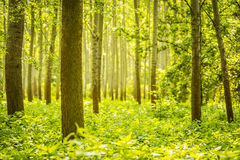 Trees in green forest Royalty Free Stock Photography