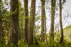 Trees in green forest Stock Photography