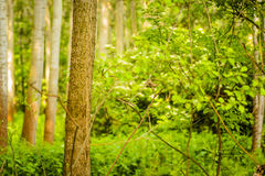 Trees in green forest Royalty Free Stock Images