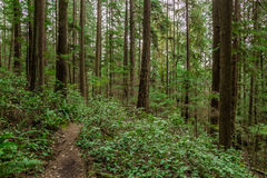 Trees in a green forest. Path in the forest between trees in British Columbia Canada Royalty Free Stock Images