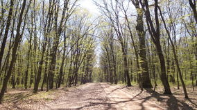 Trees in a green forest in spring Royalty Free Stock Images