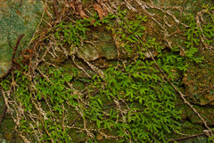 Trees of green ivy on old wall. Royalty Free Stock Photo