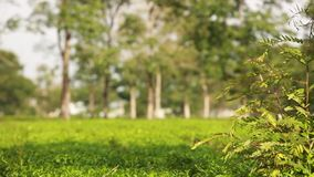 Trees and green leaves with tea field background. In Vietnam stock footage