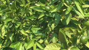Trees with green lemons, tropical garden stock footage