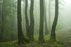 Trees with green moss in a green forest with fog Royalty Free Stock Image
