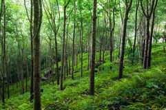 Trees green nature background. Latex rubber trees plantation Stock Photography