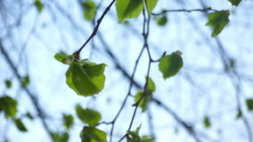 Trees green spring. Sheet movement in a tree on the wind stock footage