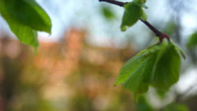 Trees green spring. Sheet movement in a tree on the wind stock video footage