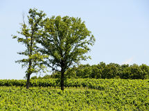 Trees in green vineyard Royalty Free Stock Image