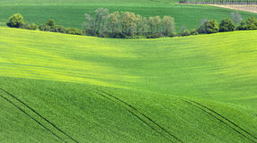 Trees grove in green fields Royalty Free Stock Image