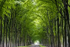 Trees grow along the road, forming a lively green tunnel. Tunnel of trees. Green trees grow in the form of arches. Green arches of trees. High trees grow along Stock Photo