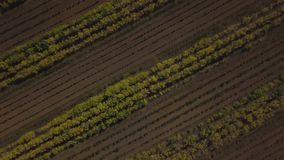 Trees grow along their line. Shot on drone. Trees grow along their line stock video