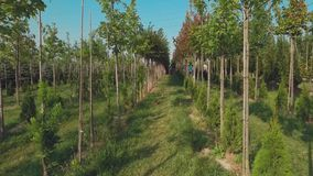 Trees grow in neat rows in the garden. People collect harvest in the garden. Trees grow in neat rows in the garden. Camera moves forward stock video footage