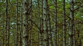 Trees grow in a pine forest. Landscape stock photo