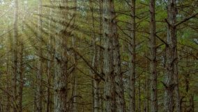 Trees grow in a pine forest. Landscape royalty free stock photos