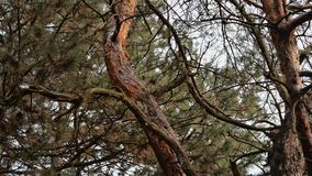 Trees grow in a pine forest. Landscape royalty free stock image