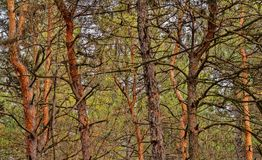 Trees grow in a pine forest. Landscape stock photos