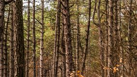 Trees grow in a pine forest. Landscape royalty free stock images
