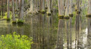 Smooth Water Reflects Cypress Trees in Swamp Marsh Lake. Trees grow right up out of the water in this marsh swamp area of the southern United States Stock Images