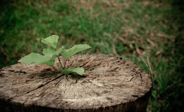 Trees grow on the stump dry. A new beginning that happen in the usual environment Royalty Free Stock Image