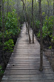 Trees grow through the wooden path in the mangrove forest. Trees grow through the old wooden path in the mangrove forest Stock Image
