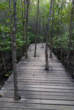 Trees grow through the wooden path in the mangrove forest Stock Images