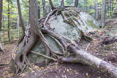 Trees Growing from a Boulder. Fantastic tree roots growing all over a boulder in the Adirondack Mountains of New York State Stock Images