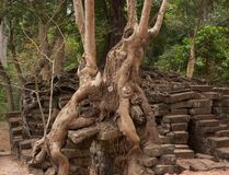 Trees growing in between bricks in a forest in the famous UNESCO Angkor Temples area stock images