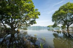 Trees growing from lake shallow. Japanese alder Alnus japonica trees growing from the Biwa lake shallow under blue sky Stock Photo