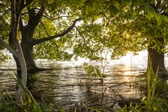Trees growing from lake shallow. Lined japanese alder Alnus japonica trees growing from the Biwa lake shallow in front of sun Royalty Free Stock Image
