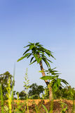 Trees growing Mango Royalty Free Stock Photos