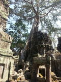 The trees growing. Out of the ruins are perhaps the most distinctive feature of Ta Prohm, and `have prompted more writers to descriptive excess than any other royalty free stock photography