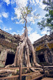 Trees growing out of Ta Prohm temple, Angkor Wat. Royalty Free Stock Photography