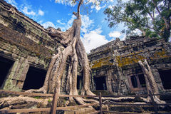 Trees growing out of Ta Prohm temple, Angkor Wat. Stock Photos