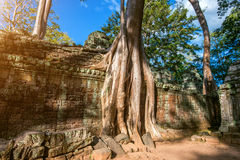Trees growing out of Ta Prohm temple, Angkor Wat. Royalty Free Stock Image