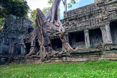 Trees growing out of Ta Prohm temple, Angkor Wat. Royalty Free Stock Images