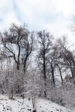 Trees covered with snow. Trees growing in the park, covered with snow after the last snowfall. Photo of plant branches, made a close-up in a small depth of field royalty free stock photos