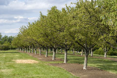 Trees growing in a row. Very nice composition of trees outdoors growing in a unique pattern Royalty Free Stock Photography