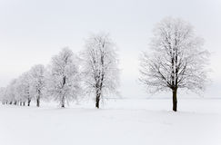 Winter season. Trees growing in a row in a winter season. the picture is taken in the field Stock Photography