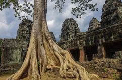 Trees growing through the ruins of Ta Prohm Temple at Angkor Wat Royalty Free Stock Photography
